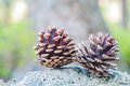 Close up of two pine cones on rock Royalty Free Stock Photos