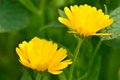 Close-up of two yellow marigold flowers. Royalty Free Stock Photo