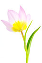Close up of underside of pink and yellw species tulip yellow dancing with leafy arms outreaching Stock Images