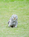 Close up ural owl ground Royalty Free Stock Image