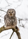 Close up ural owl tree Royalty Free Stock Images