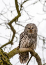 Close up ural owl tree Stock Image