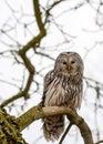 Close up ural owl tree Stock Image