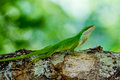 Close up van leuk klein texas green anole Royalty-vrije Stock Fotografie