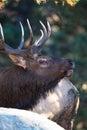 Close-up vertical of bull elk Royalty Free Stock Photo