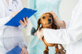 Close up of vet with dachshund dog at clinic Royalty Free Stock Photo