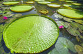 Close up Victoria amazonica in the pond Royalty Free Stock Photo