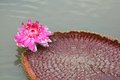 The close up of Victoria waterlily Royalty Free Stock Photo