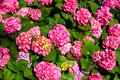 Colorful Hydrangea Plant