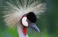 Close up view of a black crowned crane balearica pavonina Stock Image