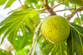 Close-up view of a breadfruit tree fruit at one of the Zanzibarian farms (Zanzibar, Tanzania) Royalty Free Stock Photo