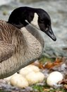 A Mother Canada Goose Keeping A Close Watch On Her Unhatched Eggs Royalty Free Stock Photo