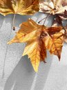 Autumn leaves on white textile background Royalty Free Stock Photo