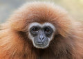 Close up view of a female lar gibbon hylobates Royalty Free Stock Image