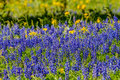 Close up View of a Field Blanketed with the Famous Texas Bluebonnet and Other Assorted Wildflowers