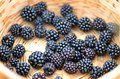 Close up view of fresh-picked wild blackberries in a basket Royalty Free Stock Photo