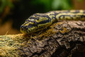 Close-up view of a green tree snake. View of a head of snake on
