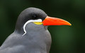 Close up view of an inca tern larosterna Royalty Free Stock Photography
