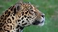 Close-up view of a Jaguar (Panthera onca) Royalty Free Stock Photo