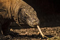 Close up view of a Komodo Dragon Stock Photography