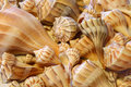 Close up view of Lightning Whelk shells sitting on sand Royalty Free Stock Photo