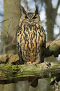 Close up view of a long eared owl asio otus Royalty Free Stock Photo