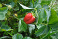 Close-up view ot the strawberry planting Royalty Free Stock Images