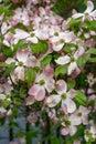 A close-up view of pink dogwood flowers, Cornus florida rubra Royalty Free Stock Photo