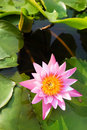 Close up view of pink lotus Stock Photo