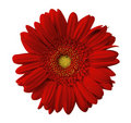 Close up view of red daisy Royalty Free Stock Images