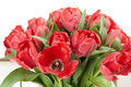 Close up view of red fresh tulip flowers after rain. Royalty Free Stock Photo