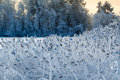 Close-up view of reed in white frost at winter lake shore Royalty Free Stock Photo