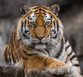 Close up view of a Siberian tiger Royalty Free Stock Photo