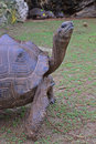 Close up view of a standing aldabra giant tortoise with her four strong legs and rocks in background at francois leguat Stock Photos