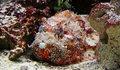Close-up view of a Stonefish Royalty Free Stock Photo