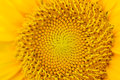 Close up view sunflower full bloom Stock Images
