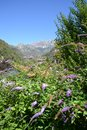 Beautiful blue flowers of abundant butterfly bush and Resegone mountain in the background. Royalty Free Stock Photo
