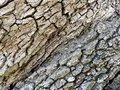 stock image of  This is a close up view of a very old oak tree.