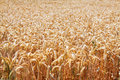 Close-up view of wheat field Royalty Free Stock Photo