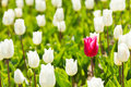 Close-up view of white and one red tulip in summer Royalty Free Stock Photo