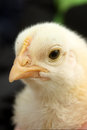 Close up view yellow baby chick s face Stock Image