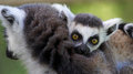 Close up view of a young ring tailed lemur lemur catta mother and child Royalty Free Stock Images