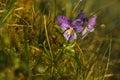Close Up Of Viola Tricolor (al...