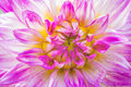 Close-up violet dahlia in bloom in a garden