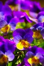 Violets In Spring Royalty Free Stock Photo