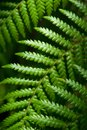 Fern eaves in moody light Royalty Free Stock Photo