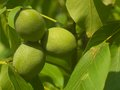 The close up walnut fruits with green skin growing unriped before harvest on the walnut tree leaves nature in garden Royalty Free Stock Image