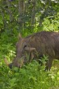 Close up of Wart hog feeding on the grass Royalty Free Stock Photo