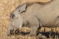 Close up warthog eating on knees wildlife with its front the ground for easy digging for food of habits and detail in the Stock Photo