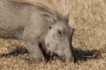 Close up warthog eating on knees wildlife with its front the ground for easy digging for food of habits and detail in the Royalty Free Stock Images